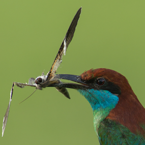 Blue-throated Bee-eater with FIM by Eric Wang - Animals Birds