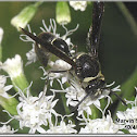 Potter Wasp (female)