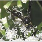Potter Wasp (female)