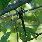 Swamp Darner dragonfly (female)