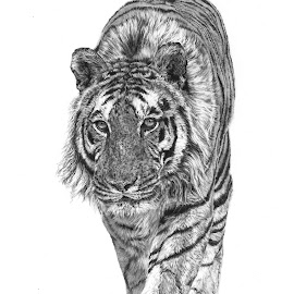 The Sentinel by Karen Phillips - Drawing All Drawing ( realistic, pencil, detail, tiger, black and white )