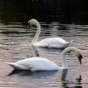 Mute Swan, Łabędź niemy