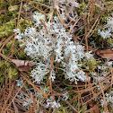 Reindeer Moss