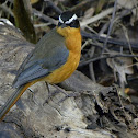 White-Browed Robin-Chat (Heuglin`s Robin)