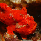 RED Clown Frog Fish