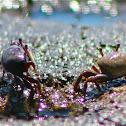 Sand Fiddler Crab