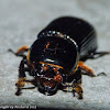 Beetle with parasitic mites