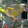 Greenfinch (Male)