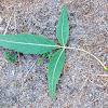 Narrow-leafed Ash, fresno de hoja estrecha