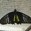 Common Birdwing (male)