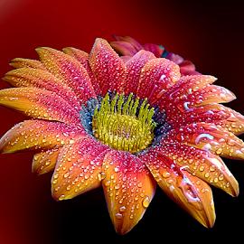 Beautiful colors by Biljana Nikolic - Flowers Single Flower ( inspiration, moods, colorful, gerbera daisy, january, artistic shot, emotions, happiness, red gerbera, vibrant, gerbera, mood factory )