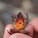 Orange-Bellied Leaf Toad