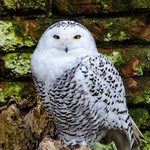 snow owl (1 van 1).jpg