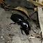 Escarabajo / Beetle