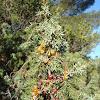 Sharp Cedar Berries / Bobice smrike