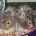 Teddy Bear Hamsters