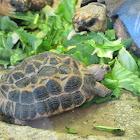 Radiated Tortoises