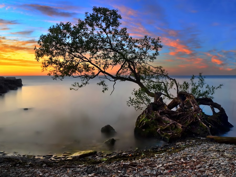bent tree by Andrzej Pradzynski - Landscapes Waterscapes ( shores, dawn, inclined, smooth, tree, oakville, ontario, lake )