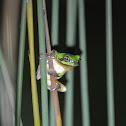 中國樹蟾 / Common Chinese treetoad / Chinese tree frog
