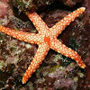 Pearl Sea Star