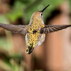 Golden by Jim Malone - Animals Birds ( hummingbird )