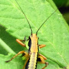 Bush cricket (nymph)