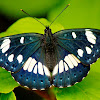 Southern White Admiral Butterfly