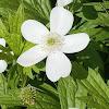 Thimbleweed (Wildflower)
