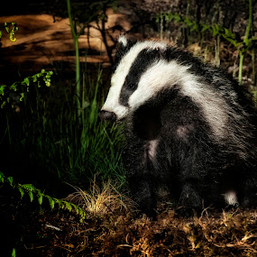Badger at Night by Simon Armstrong - Animals Other Mammals ( scotland, uk, night photography, meles meles, badger )