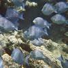 Atlantic blue tang
