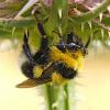 Abejorro (Garden bumblebee)