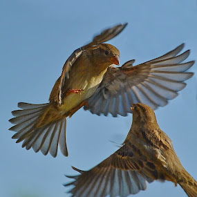 by Nikša Šapro - Animals Birds ( , bird, fly, flight )