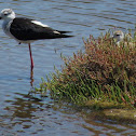 Black-winged stilt & juvenile