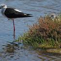 Black-winged stilt & juvenile