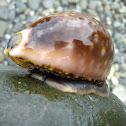 Handsome Slug-like Cowry