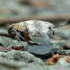 Inverted Planthopper (Beetle Planthopper)