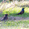 American Robin / Common Grackle