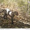 Panamanian jaguarundi