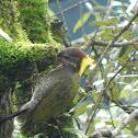 Lesser yellow nape