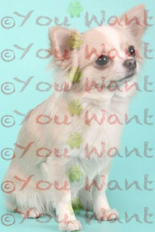 Chihuahua Wallpapers - screenshot