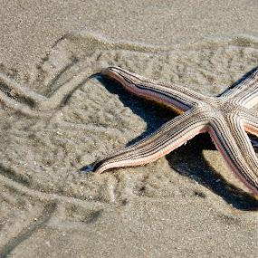 Star Trails by Nancy Arehart - Animals Sea Creatures ( sand, walking, starfish, beach, south carolina )