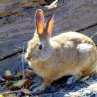 Mountain Cotton tail Rabbit