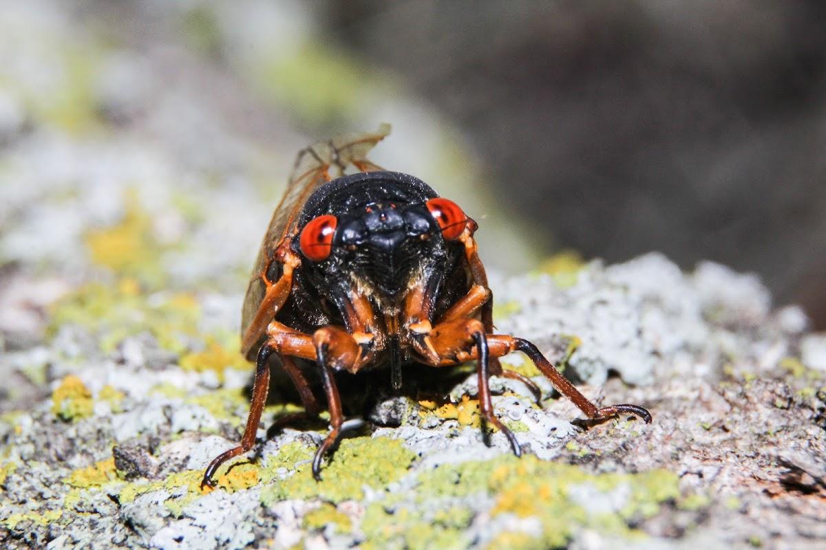 Iowa's 2014 Periodical Cicada Brood