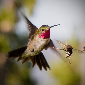 by Paula Cravens - Animals Birds ( nature, hornet, action, humming bird )