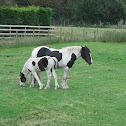 Gypsy Vanner Horse (Irish Cob)