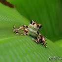 Bastimentos Poison Dart Frog