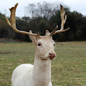 Fallow deer.