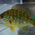 Pumpkinseed sunfish - Persico sole