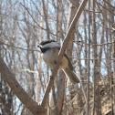 Mésange à tête noire/Black-capped chickadee