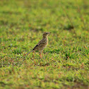 The Paddy field Pipit